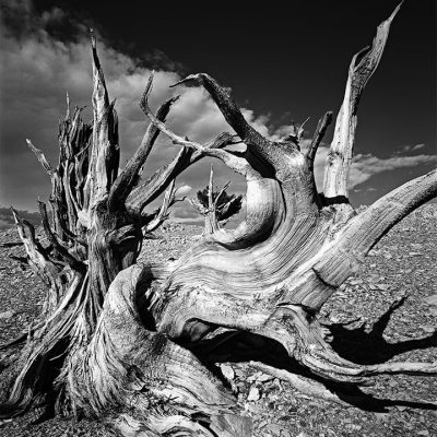 The bristlecone pines survive by letting parts of themselves die off and growing a new trunk.  This leads to convoluted shapes of joined trunks before this tree finally died in the harsh environment.